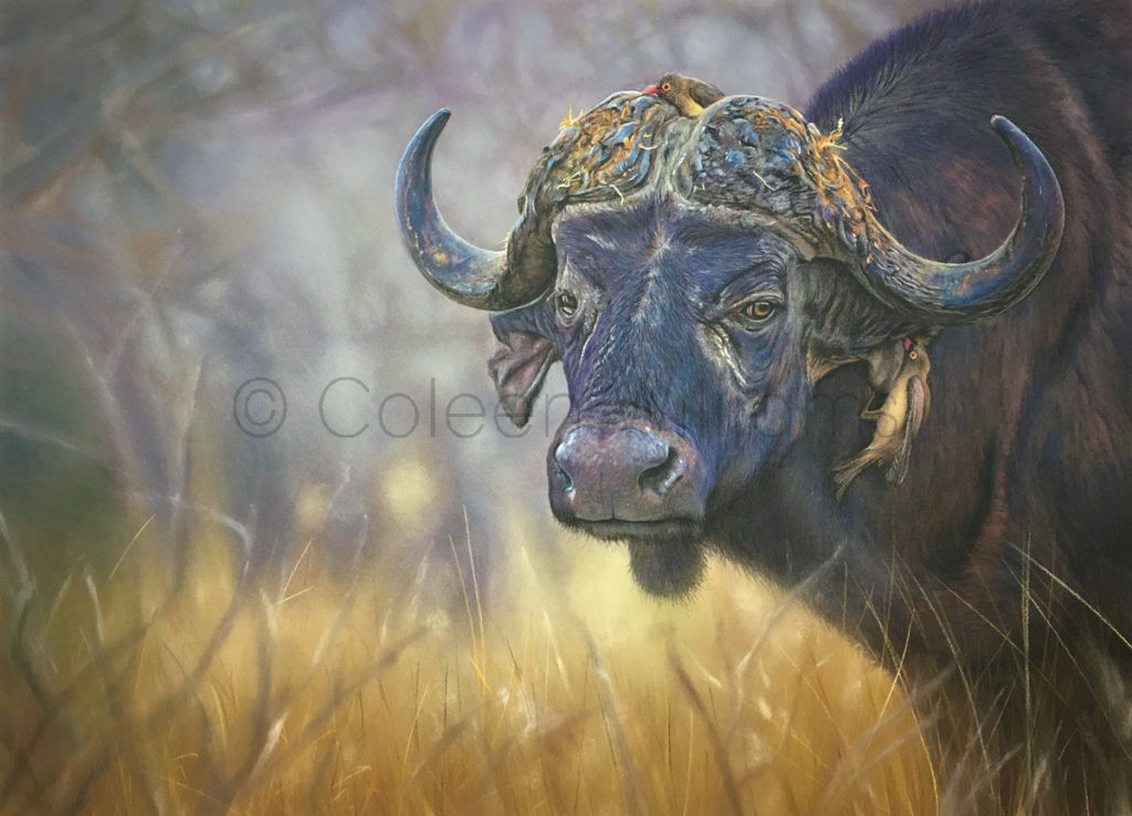 ColArt - Art by Coleen Williams - Buffalo Bill - buffalo
