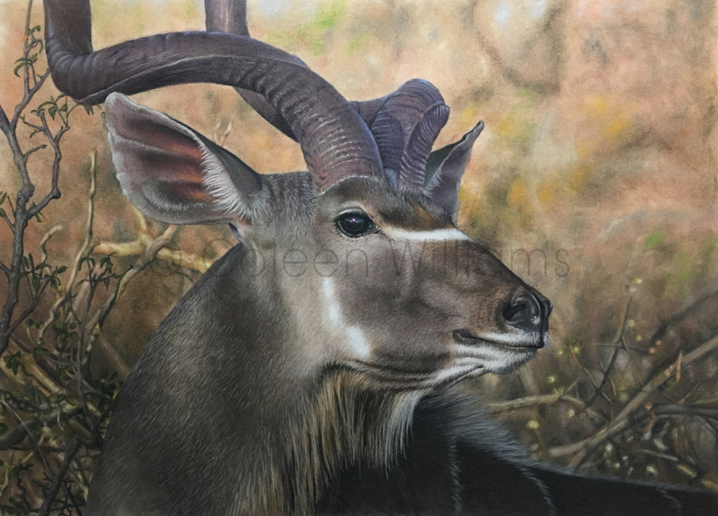 ColArt - Art by Coleen Williams - The Regal Glance - Kudu