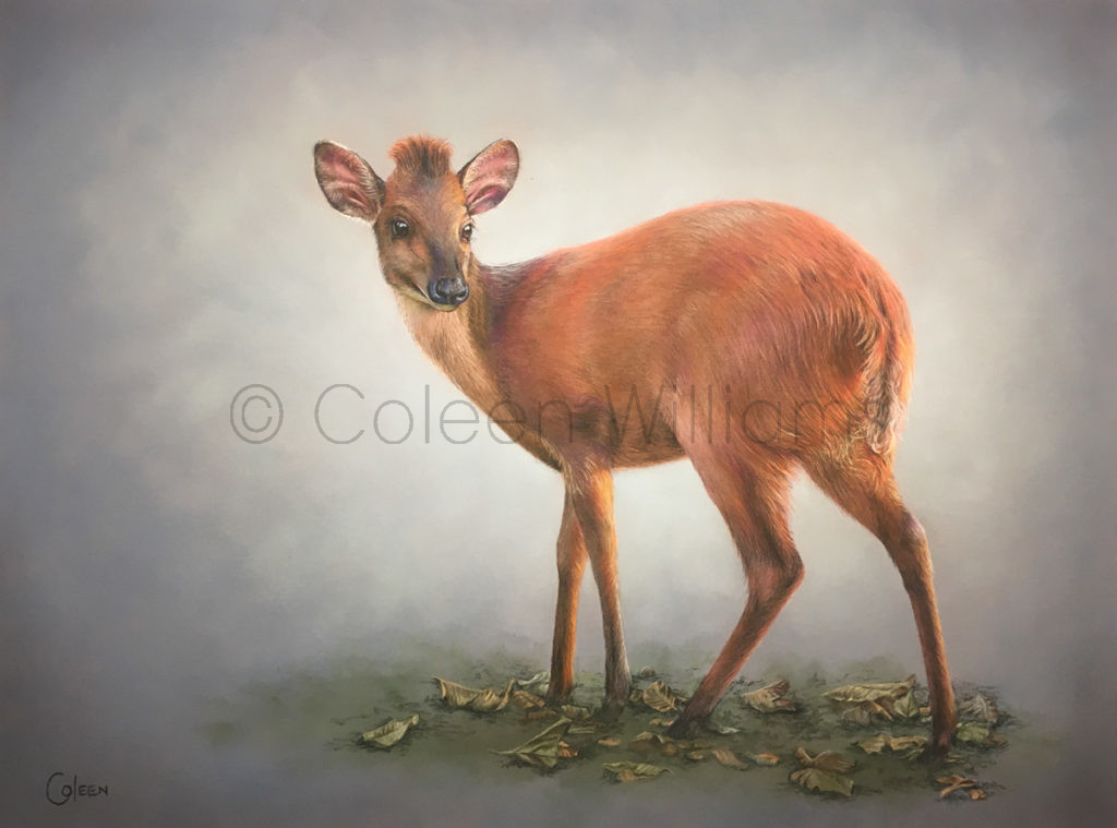 ColArt - Art by Coleen Williams - The Little Redhead - Red Duiker